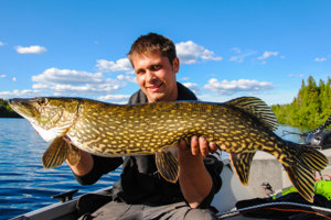 Meter-long pike from Sweden: Pike fishing in Sweden with fishing guide