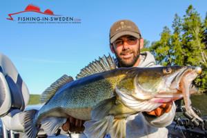 Großer Schweden Zander gefangen von Angelguide Henrik Olsson beim Zander Fischen in Schweden.